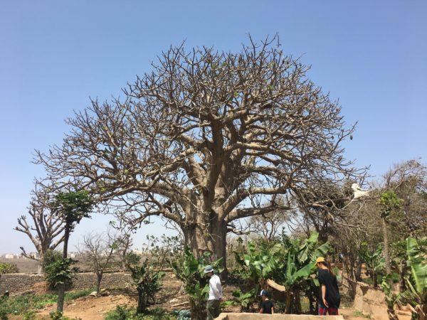 バオバブの木?